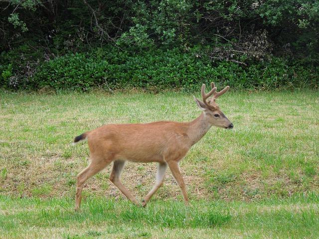 deer/points