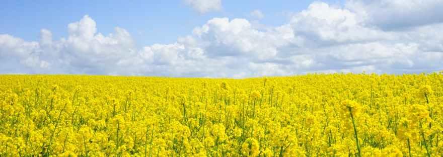 mustard/field